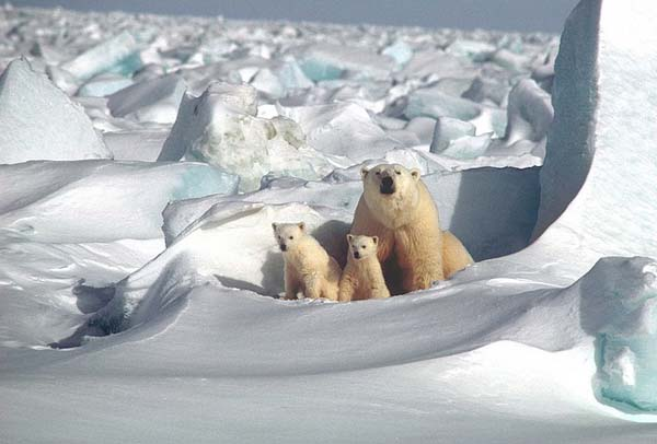 Osos polares en el Artico